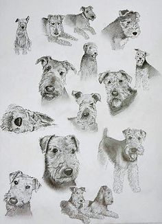 Airedale montage