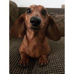 FACEBOO: Mi perro Salchicha me AMA https://www.facebook.com/pages/Mi-perro-Salchicha-me-AMA/425990280846978?ref=hl