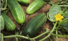 Az uborka az egyik legegészségesebb zöldségünk. Idézd csak fel azt az érzést, amikor a nyári kánikulában beleharapsz egy lédús uborkába, amit a saját kertedből szakítottál le.