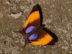 Butterflies of North America - Marpesia marcella
