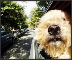 My Katie's favorite thing to do.LOVE that Wheaten nose! Beach Haven, Winter Haven, New Smyrna Beach, Wheaten Terrier, Mejor Gif, Kentucky, Dog Car, Dog Love, Best Dogs