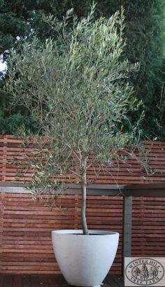 """I love our inherited olive tree that somehow manages to be happy in our English climate. """"Olive tree - suitable for courtyards and pots, frost hardy, wind hardy, drought hardy"""" Back Gardens, Small Gardens, Outdoor Gardens, Courtyard Gardens, Outdoor Pots, Rooftop Garden, Garden Care, Tree Planters, Potted Trees Patio"""