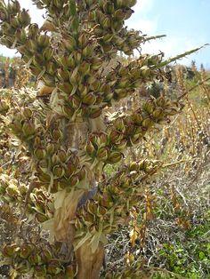 Inflorescencia con frutos