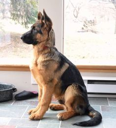#GSD He looks like a future K9 cop!!