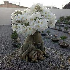 Acer Palmatum, Cacti And Succulents, Planting Succulents, Bougainvillea Bonsai, Desert Rose Plant, Plantas Bonsai, Unique Trees, Culture, Amazing Flowers