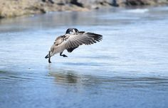 A Canadian goose slips as it lands on the remaining ice in a pond at Albertson Park in Stroudsburg.