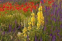 Fiori di campo, Abruzzo Italia, (Wildflowers, Aaron's rods, poppies, toad flax in Abruzzo Italy) - Pixdaus