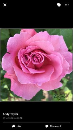 Image Photography, Rose, Flowers, Plants, Pink, Plant, Roses, Royal Icing Flowers, Flower