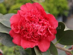 'Professor Sargent' Camellia japonica. Red peony flowers. Kinsey Family Farm Gainesville, GA.