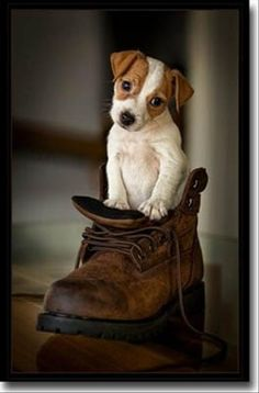 Jack Russell Puppy in a Boot by Bev Michel