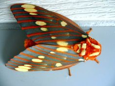 Wild Silk Moth - Insecticides kill beauty like this