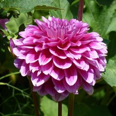 Pink Dahlia