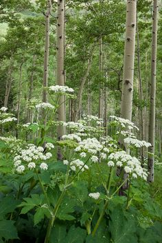 Cow parsnip and aspen