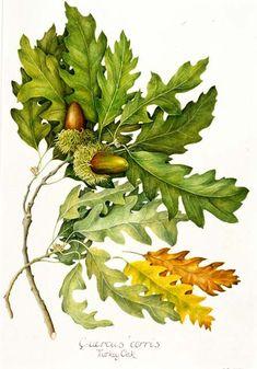 old botanical school boards Vintage Botanical Prints, Botanical Drawings, Botanical Art, Botanical Illustration, Oak Tree Drawings, Illustration Botanique, Oak Leaves, Nature Prints, Leaf Art