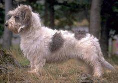 Petit Basset Griffon Vendeen - French - Small Scenthound