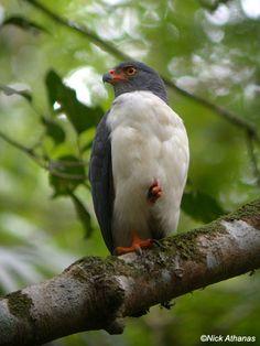 Semiplumbeous Hawk  (Leucopternis semiplumbeus)