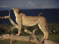 Encyclopaedia of Babies of Beautiful Wild Animals: Cheetahs, dangerous animals with great speed