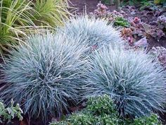 Festuca glauca, I love this blue grey ornamental mounding grass. It thrives in full sun and compliments Asian designed gardens. It should be divided every 3 or 4 years. Doesn't like over watering.
