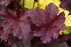 Growing Tips for Coral Bells/ Heucheras (Part Shade)