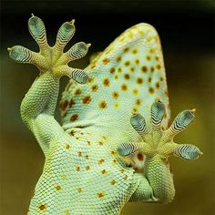 I love the sticky pads on geckos, so cute.