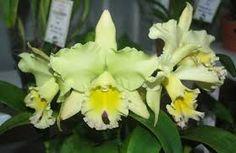 Resultado de imagem para orquideas raras e exoticas