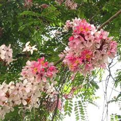 Pink White Shower Tree Cassia Javanica 50 Seeds | eBay