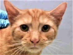 PROVIDENCE - A1119700 - - Manhattan  *** TO BE DESTROYED 07/29/17 *** PROVIDENCE is one of 10 kittens abandoned at MACC inside an ottoman.  He has  a URI and is sneezing and coughing and needs a home to recuperate. -  Click for info & Current Status: http://nyccats.urgentpodr.org/providence-a1119700/