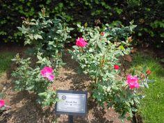 The Emerald Necklace Conservancy ~ James P. Kelleher Rose Garden, Boston, MA.