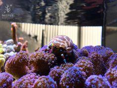 Year 3, Day 80: meet Bouba the #hermitcrab ! Sheldon seemed a bit lonely so I figured he could use a new partner in crime 😁👌 #nanoreef #marineaquarium #eatsleepreef #reefaddict #reefpicoftheday #reefpack #misternanoreef #coralreef #saltwateraquarium #reef2reef #reefaholiks #pieceofocean #saltlife #marine #tropicalfish #allmymoneygoestocoral #saltwatergardens #reefpro