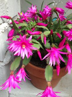 Bright pink Spring Cactus