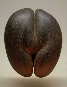 """""""coco de mer""""...sea coconut..lodoicea....seychelles...largest seed in the plant world"""