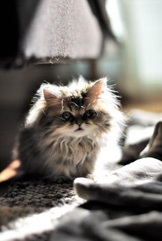 Kitty Love :: Funny Cutest + Most Adorable :: Free your Wild :: See more Kittens + Cats Fluffy Kittens, Cute Kittens, Cats And Kittens, Fluffy Cat, Animals And Pets, Baby Animals, Funny Animals, Cute Animals, Funny Cats