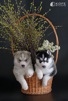 Siberian Husky puppies in a basket, perfect present :)