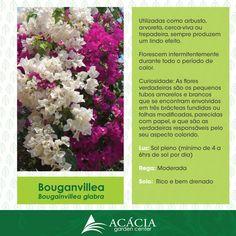 141103-bouganvillea-bounganvile-como-cuidar-cuidados-jardinagem-acaciagarden-center-rio-de-janeiro-rj-plantas-vasos