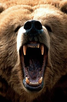 """Bear opening Mouth .../ Bear Opening Mouth ?! How about """"Bear Roaring' like he's about to tear someone's head off ~bl~ .../"""