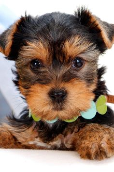 Yorkie Puppy - definitely for the Home