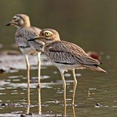 El alcaraván senegalés (Burhinus senegalensis) es un reproductor residente de África entre el Sahara y el ecuador, y en el valle del Nilo. Prefiere los ambientes abiertos y secos con algo de suelo desnudo, preferentemente cerca del agua.