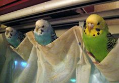 how to decorate a window: parakeet curtains!