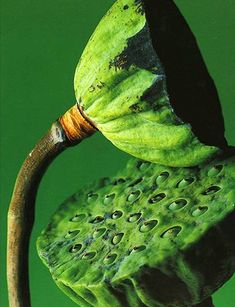 Seed pods - I think I have this but don't have time to check and I love it. S
