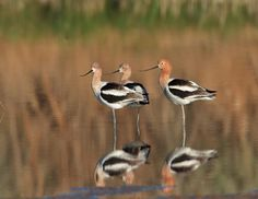 The Avocets of Bolivar Flats | BirdNote - 16Dec2015