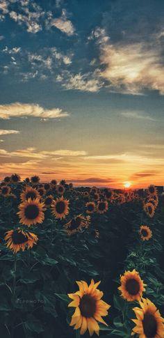 Sunflower Sunset wallpaper by LauraP07 - 5bde - Free on ZEDGE™