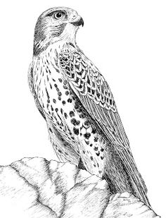 pen and ink drawings - - Yahoo Image Search Results Pencil Drawings Of Animals, Animal Sketches, Bird Drawings, Ink Pen Drawings, Bugs Bunny Drawing, Vogel Illustration, Eagle Drawing, Bird Sketch, Sketch Tattoo Design