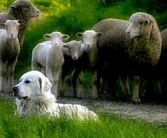 A faithful dog -guarding his flock.