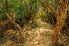 Photo: STIPPLED LIGHT Cape Otway, Victoria, Australia  The short walk from Cape Otway's carpark to the historic lighthouse takes you through a small stand of trees and scrubby bushland. This lovely little path with stippled light filtering through the overgrowing trees seems oddly out of place with the rest of the windswept landscape of the shipwreck coast. The walk is well worth taking and the climb to the top of the lighthouse is rewarded with fantastic views of this remote part of the…