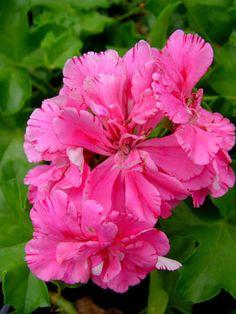 Geranium 'Pink Carnation' Pelargonium