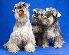 Miniature Schnauzers by Bob Richards. Love the simultaneous head tilts. Love Pet, I Love Dogs, Puppy Love, Cute Dogs, Schnauzer Puppy, Miniature Schnauzer, Schnauzers, All Dogs, Best Dogs