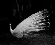 Yes. We love you albino peacock.