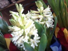 {{Hyacinths-white}}