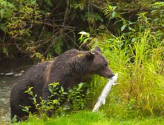 Watching grizzly bears is worthy of a bucket list trip. This grizzly caught her breakfast at Fish Creek near Hyder, Alaska. What an awesome experience!