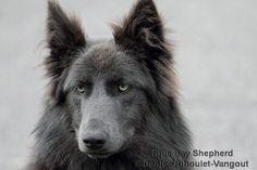 https://www.facebook.com/blue.bay.shepherd/photos/a.369385713129559.78734.369156186485845/696770467057747/?type=1